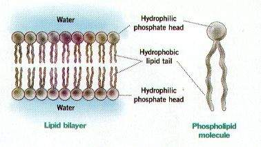 Diagram shows the assemblage of phospholipids in plasma membrane
