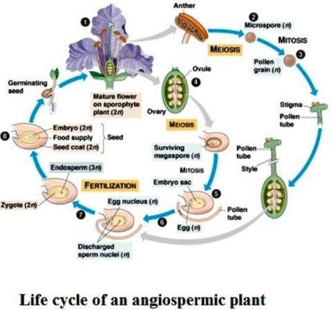 ife cycle of an angiospermmint plant