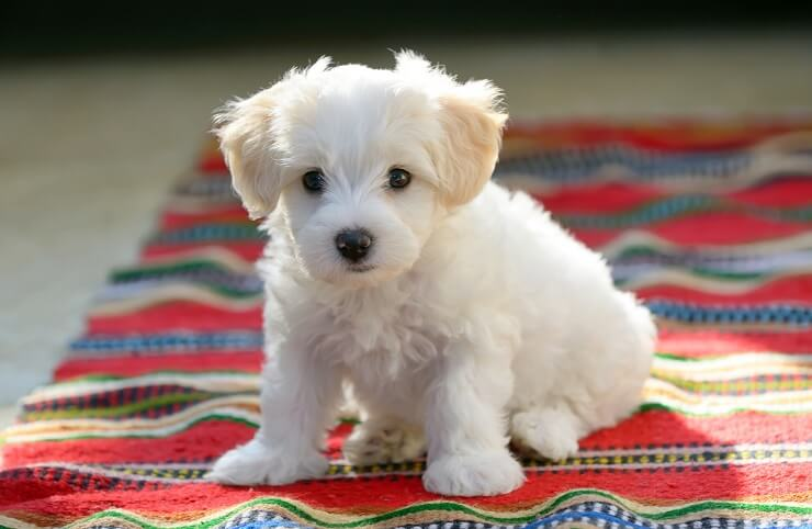 13 Most Popular White Dog Breeds Fluffy Small Large and