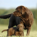 Chocolate Lab Names 300 Names For Your Chocolate Coated Furry Friend Perfect Dog Breeds