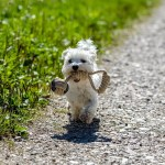 Teacup Maltese Complete Breed Profile Size Temperament And More Perfect Dog Breeds