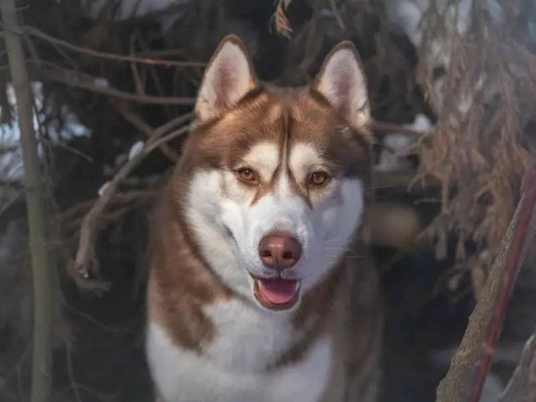 Sakhalin Husky guide