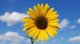 Όλα όσα δεν ξέρετε για το λουλούδι του καλοκαιριού.. Τον Ηλίανθο!