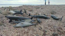 Varamiento de delfines en BCS no fue por causa de alguna enfermedad. Foto: BCS Noticias.