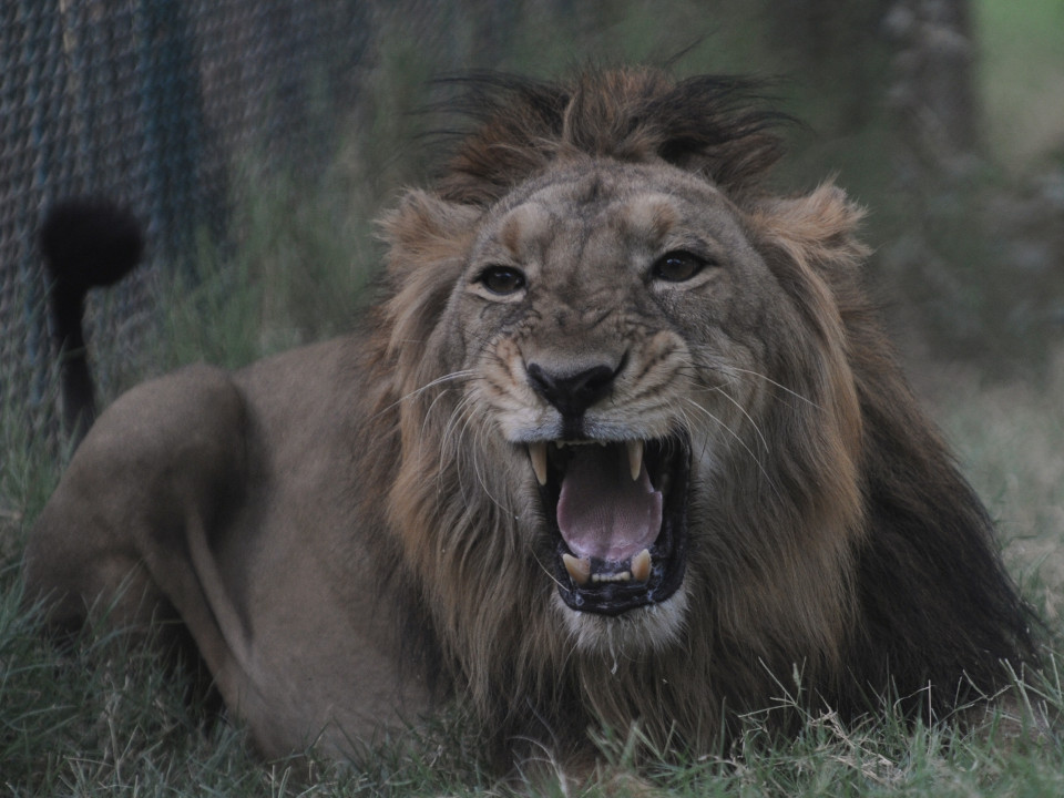 Ambar, an Asiatic lion, snarls in his open enclosure at the Kamla Nehru Zoological Garden in Ahmedabad on April 1, 2012. India's Gujarat state government in 2010 reported that some 411 Asiatic lions were sighted in the Gir forest - the only place the species is found in the wild - from 359 in the last census conducted in 2005. AFP PHOTO / Sam PANTHAKY (Photo credit should read SAM PANTHAKY/AFP/Getty Images)