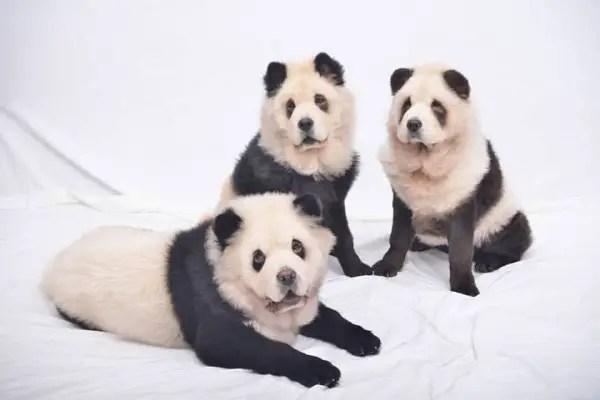 panda-chow-chow5-600x400