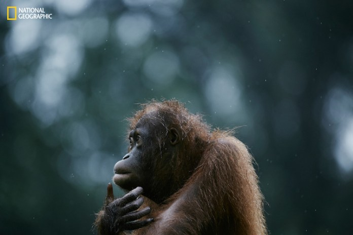 The island of Borneo, which is split between the countries of Malaysia, Indonesia, and Brunei, was once covered with a lush tropical rainforest, but in the wake of ongoing deforestation and the expansion of plantation farming, the habitats of the islandís endemic and endangered species are being destroyed rapidly. Relentless deforestation has precipitated the loss of 90% of the orangutan population in 100 years. At this rate, some expect this species to become extinct within the next 20 years.