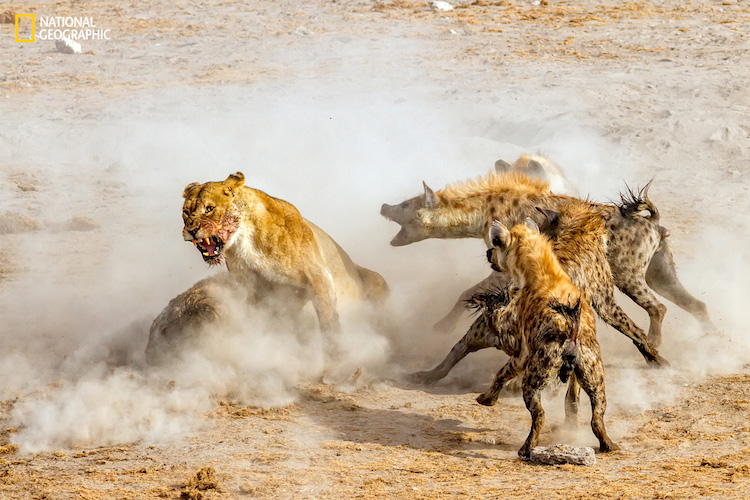 We arrived at one of the watering holes in Etosha National Park in the late evening. Four Lions were devouring a large kudu that they killed. A pack of hyenas appeared from the bush nearby attracted by the smell of blood and food for them. What ensued was a fight for the dead kudu between 4 female lions and 16 hyenas. Needless to say, in the end the hyenas won and got the prized kudu.