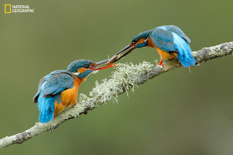 Kingfisher ( Alcedo athis) male with an engagement present for the female.