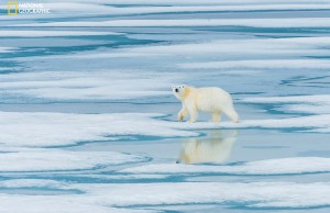 As we cruised the ice fields near Prince Regent Inlet in the Canadian high arctic we came across a lone Polar Bear wandering across the ice seeking a meal.   © Bill Klipp 2016 -- Check out my Photo Website at: http://www.WKimages.net