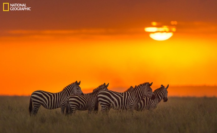 We were returning from a very successful day in the Masai Mara and were rushing to make it out the gate at the opposite end of the park, late one evening, when this scene presented itself. The beautiful melting orb of the sun, seeping through the clouds, lighting the sky a vibrant orange and in the foreground were these 4 zebras, set against that backdrop.