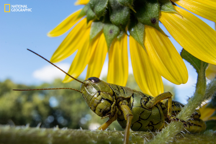 While photographing flowers at eye level, this grasshopper surprised me by crawling overhead and pausing to watch. To get the effect of a wide-angle macro image, I used an inexpensive lens with an extension tube attached. This allowed me to focus at a very close range to capture minor details, yet still allowed for a wide composition. I was so close that the front element of the lens nearly touched the subject.