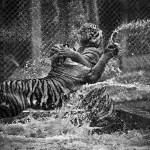 tigres-nat-geo