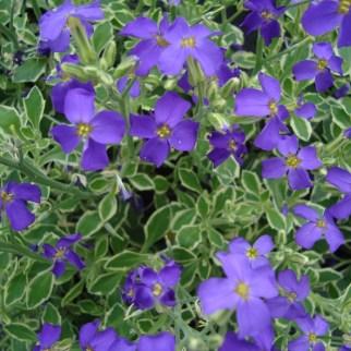 Aubrieta (vaste plant)