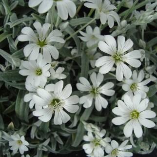 Cerastium (vaste plant)