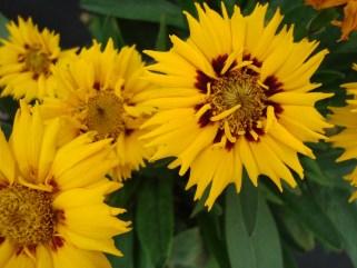 Coreopsis (vaste plant)