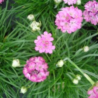 Engels Gras (vaste plant)