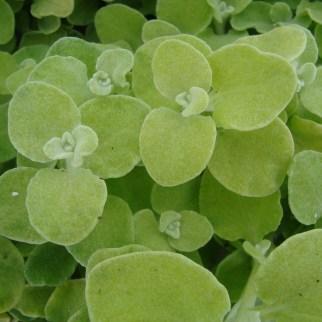 Helichrysum...