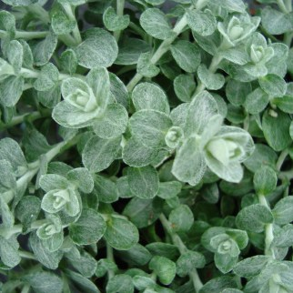 Helichrysum.