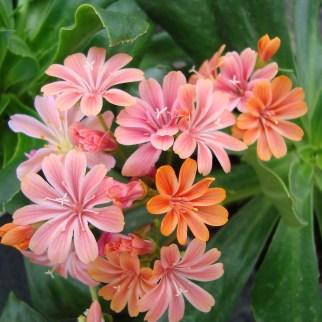 Lewisia (vaste plant)