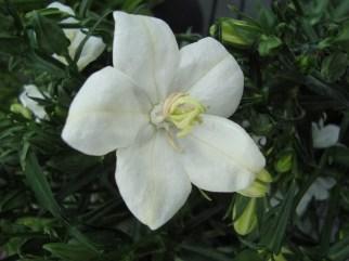 Platycodon - Ballonplantje (vaste plant)