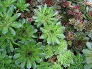 Sempervivum (vaste plant)