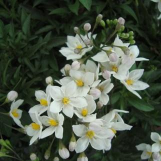Solanum Yasminiodes (vaste plant)