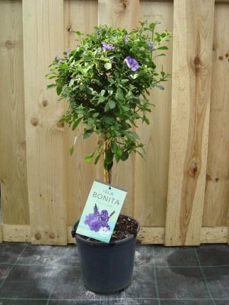 Solanum blauw