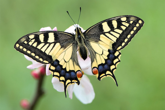 papilio_machaon_by_mantide-d1vbita