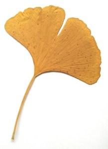 Feuille de Gikgo biloba, aussi appelé l'arbre aux quarante écus