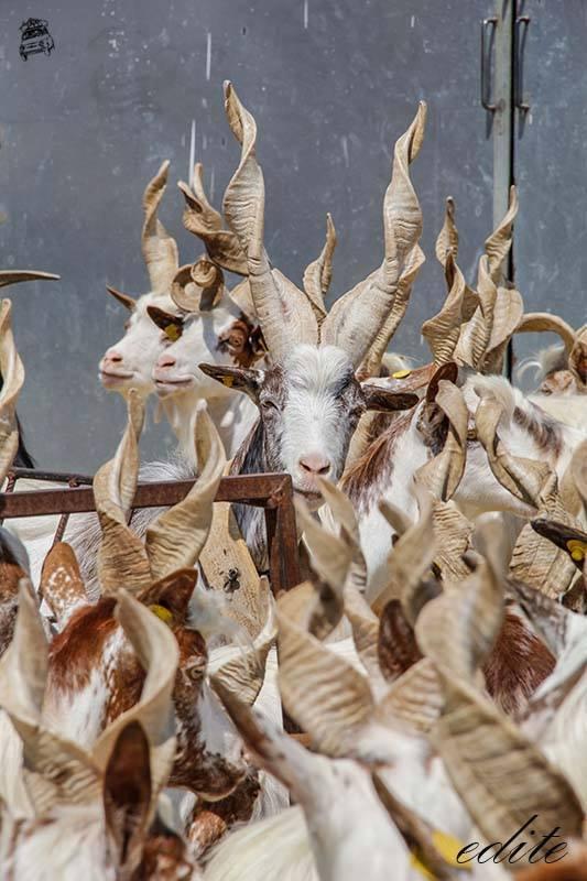 capre girgentane sicilia lopresti