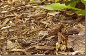 Mulch ou couverture de sol en BRF ou bois raméal fragmenté