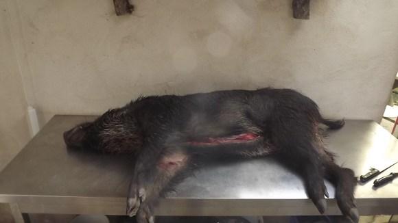 Wild Boar 004