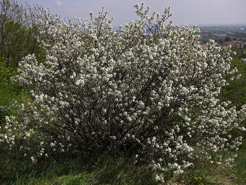 Europees krentenboompje