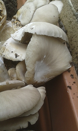 Oyster Mushrooms Day 4 pm 2017 2