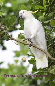 cockatoo dropping a macadamia nut