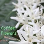 coffee tree flowers
