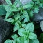 Thai Basil and mint: home-grown teas