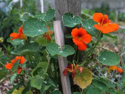 Jardiner futé permaculture jardinage bio capucine