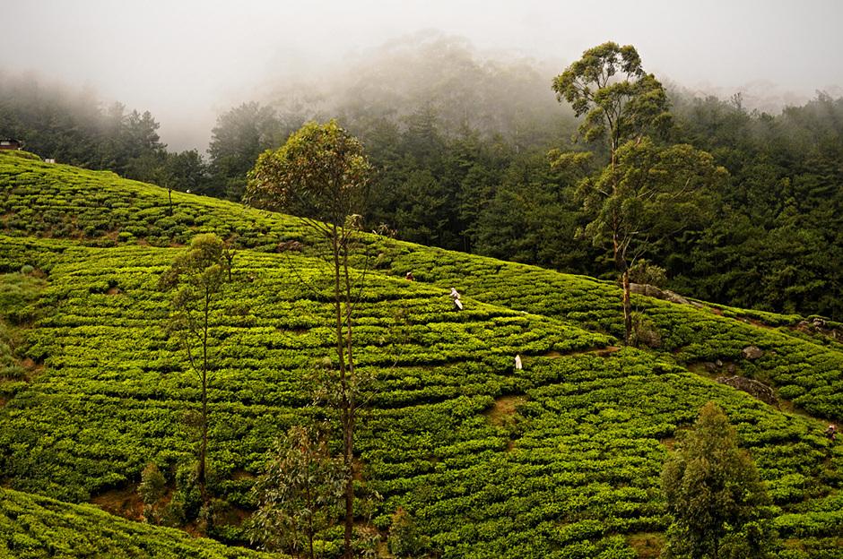 3. Sri Lanka, Nuwara Eliya. Herbata rośnie na krzewach. Gdyby nie były one odpowiednio przycinane, mogłyby osiągnąć wysokość nawet 10 metrów. (Fot. Ania Błażejewska)