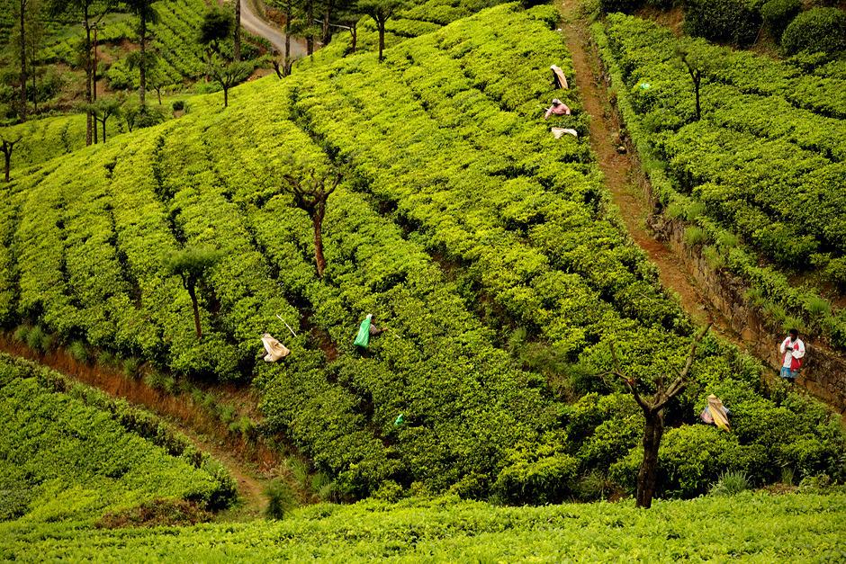 5. Sri Lanka, Nuwara Eliya. Każdego ranka, kiedy mgły zaczynają opadać, do pracy przy zbiorze herbaty ruszają zbieraczki. (Fot. Ania Błażejewska)