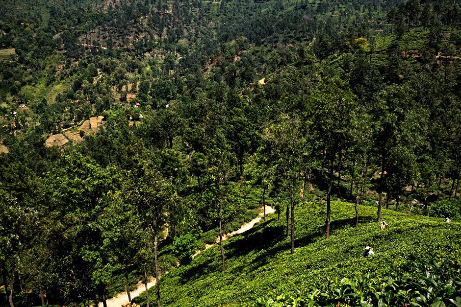 14. Sri Lanka, Ella. Rodzaj herbaty i jej kolor m. in. zależą od wysokości, na której rośnie - im wyżej położona jest plantacja, tym jaśniejsza barwa oraz lepszy smak i aromat. (Fot. Ania Błażejewska)
