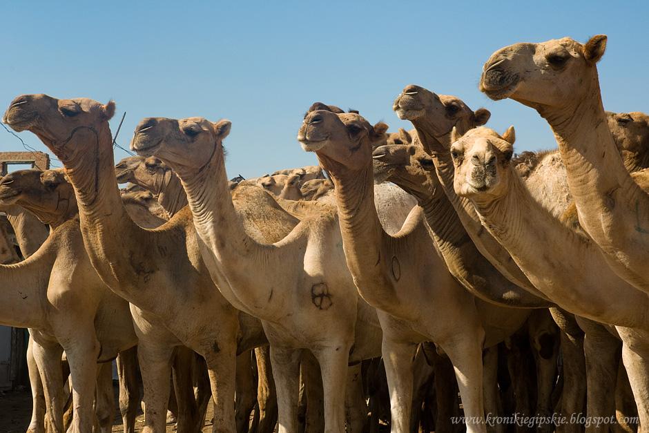 11_Camel_market_Birkasz