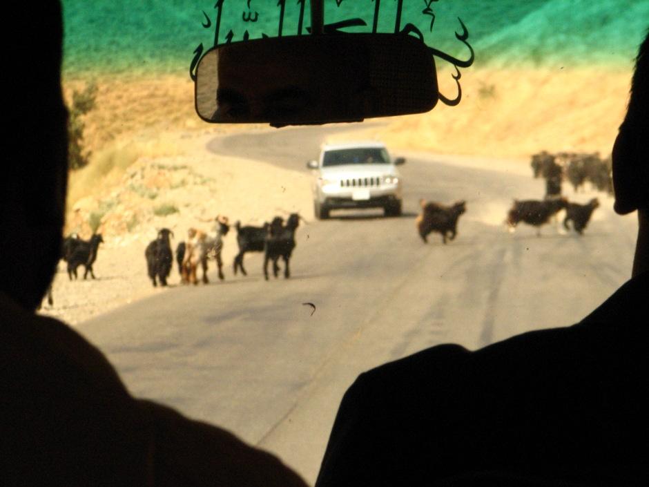 13. IRACKI KURDYSTAN, niedaleko Erbilu. W drodze z Erbilu do Raniyah nie sposób nie spotkać kóz, które nie mogą się oprzeć by zastąpić drogę. (Fot. Katarzyna Komorek)