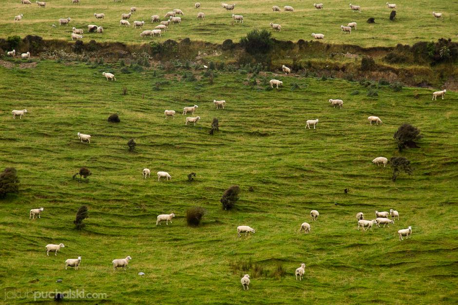 4. NOWA ZELANDIA, Wyspa Południowa, gdzieś na wiejskiej drodze. W wielu miejscach krajobraz pokryty był przedstawicielami czterdziestomilionowej populacji owiec. To 10 wełniaków na jednego mieszkańca!. (Fot. Jakub Puchalski)
