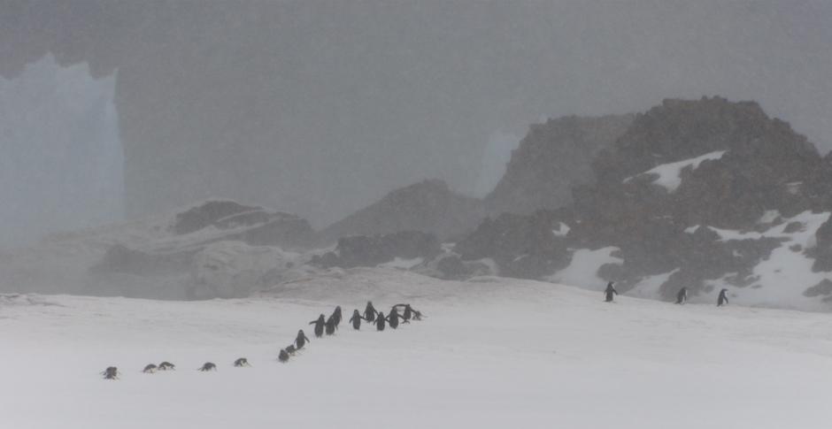 10. ANTARKTYKA, Wyspa Króla Jerzego. Marsz pingwinów. (Fot. Piotr Horzela)