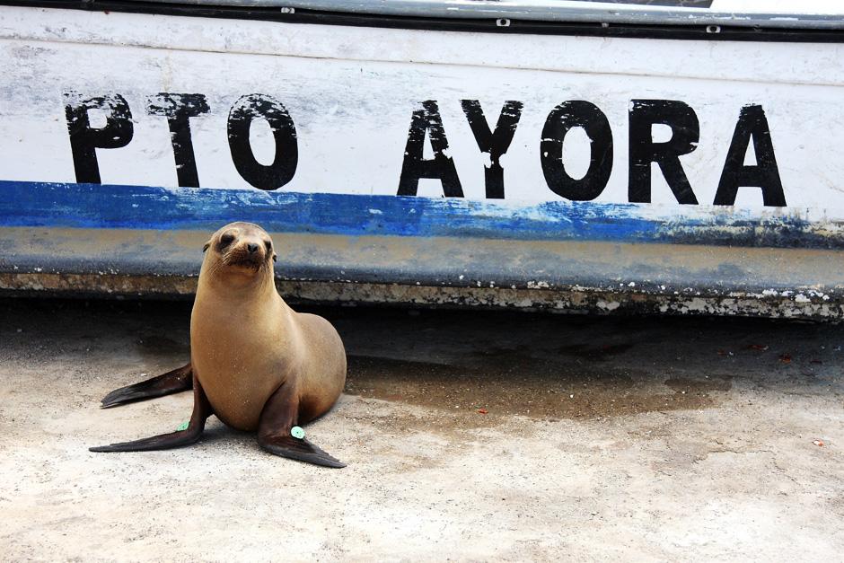 01. GALAPAGOS, Puerto Ayora na wyspie Santa Cruz. Foki są w miasteczkach na Galapagos, jak psy w miasteczkach w Polsce - wylegują się na chodnikach, kręcą między nogami i zazwyczaj zupełnie nie zwracają uwagi na ludzi. (Fot. Magda Biskup)