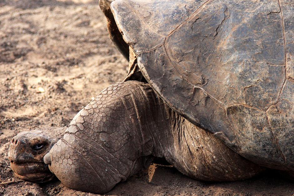 11. GALAPAGOS, wyspa Isabella. Galapagos słynie z największych na świecie żółwi. Największe okazy potrafią osiągać wagę do 400 kg i 180 cm długości. (Fot. Magda Biskup)