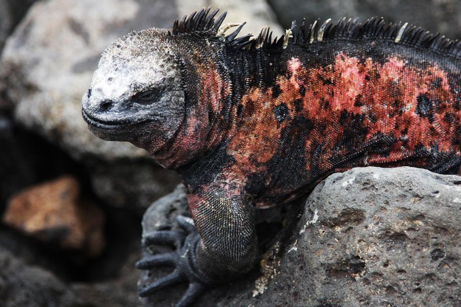 15. GALAPAGOS, wyspa Floreana. Iguany są bardzo płochliwe i żeby podejść blisko, trzeba być bardzo ostrożnym. Jednak warto próbować, bo można dzięki temu stanąć z gadem twarzą w twarz. (Fot. Magda Biskup)