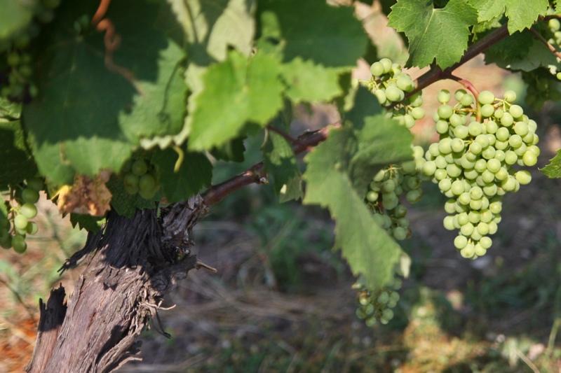 Do produkcji rakii zużywa się prawie połowę zbiorów bułgarskich winogron. (Fot. Ewa Serwicka)